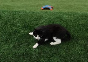 Southwest Greens Seattle Fake Lawn Grass safe for kids and pets with cat